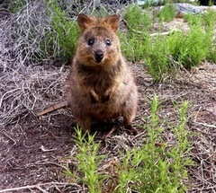 Meet the wolrd famous quokkas on Rottnest Island