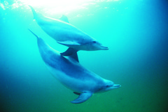 Swimming with wild dolphins in Rockingham is a must for any animal lovers!