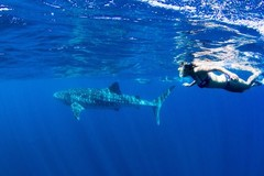 Swim with whale sharks on the Ningaloo Reef.  Book your tour with Sightseeing Pass Australia today!