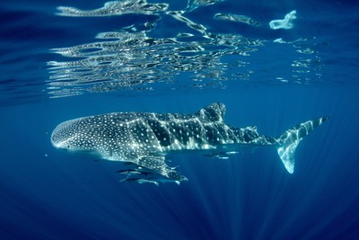 Join a tour from Exmouth to swim with whale sharks on Ningaloo Reef