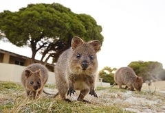 Friendly Quokkas on Rottnest Island