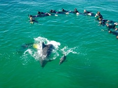 Book a swim with wild dolphins in Perth with Sightseeing Pass Australia
