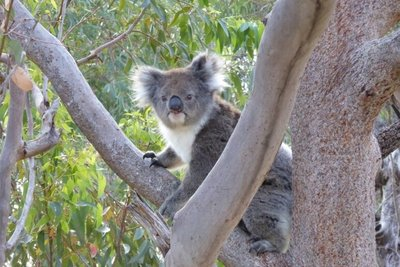See wild koalas on a day trip from Perth