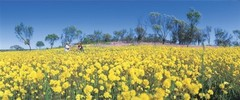 Wildflower season in Western Australia is where you can see over 13,000 different species of wildflowers. Book a tour with Sightseeing Pass Australia today for the best way to get up close to the wildflowers.