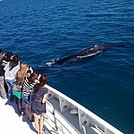 Whale watching season is at it's best this year in Perth so make sure you book your tour with Sightseeing Pass Australia