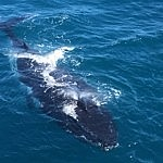 The whales are everywhere off the coast of Perth this season, don't miss out on booking your cruise with Sightseeing Pass Australia
