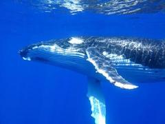 Swim with the Humpback Whales in Ningaloo with Sightseeing Pass Australia