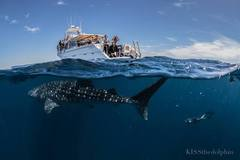 Join an adventure of a lifetime snorkelling with the Whaleshark giants at Ningaloo Reef with Sightseeing Pass Australia.