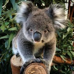 Meet the cute Koalas at Caversham Wildlife Park on this Discover Perth Tour with Sightseeing Pass Australia