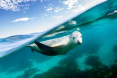 A tour that you cannot miss joining.  Let us book you today to experience Swimming with the Sea Lions in South Australia