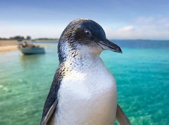 Penguin Island Cruise is one of Perth's most popular tours and can be booked online today with Sightseeing Pass Australia