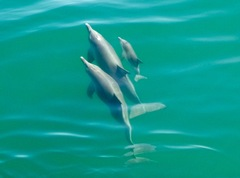 Swim with Wild Dolphins * Spectator * (includes Perth CBD transfers)