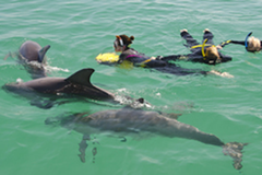 Looking for things to do in Perth? Located 40 minutes from the Perth city is Rockingham where you can swim with wild dolphins.  Book this special offer with Sightseeing Pass Australia today!