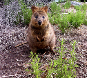 The happiest animal in the world is the quokka and they are found on Rottnest Island in Western Australia.