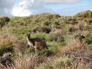 Discover kangaroos and other wildlife on the Cape to Cape tour.