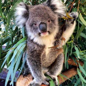 Koala at Faversham Wildlife Park Perth