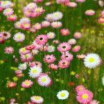 Everlasting Wildflowers, Perth