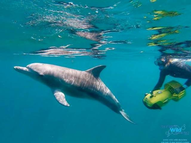 Swim with Wild Dolphins Perth